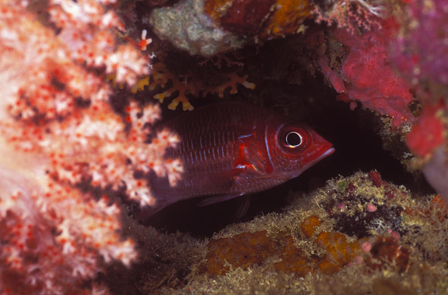 Solomon Islands Photograph - Red Squirrelfish Hiding Under Reef by James Forte