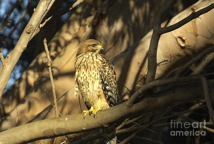 Hawk Photograph - Red Tail Hawk by Marc Bittan
