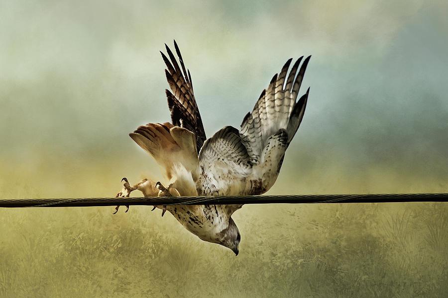 Red Tail Hawk Take Off Digital Art