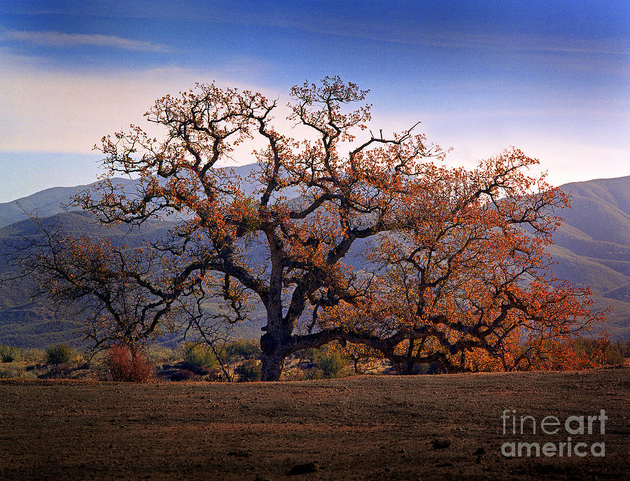 Tree Red Leaves California Landscape Photograph - Red Top Tree by Frank Bez