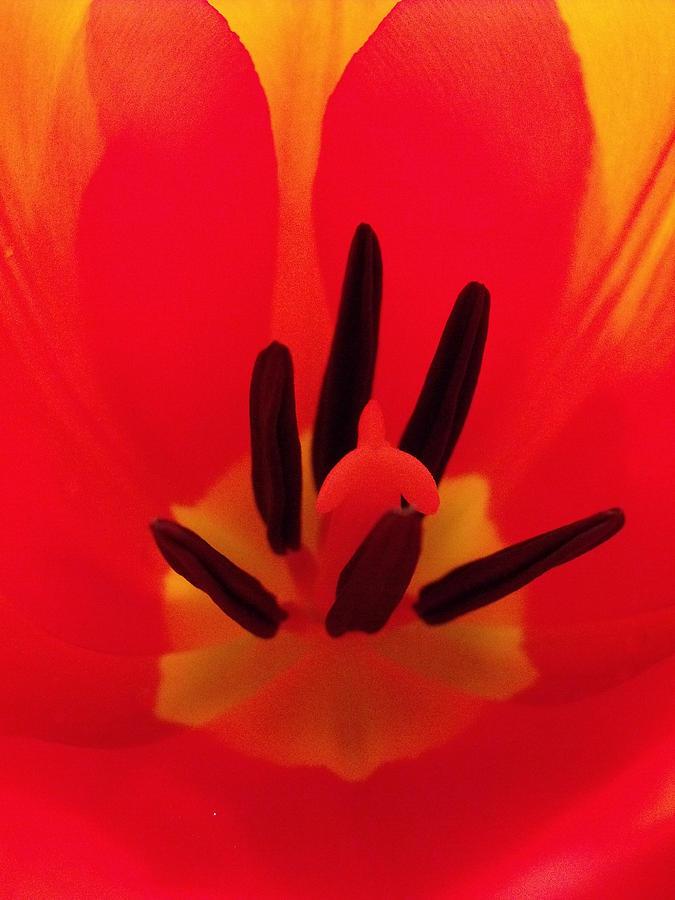 Red Photograph - Red Tulip by Anna Villarreal Garbis