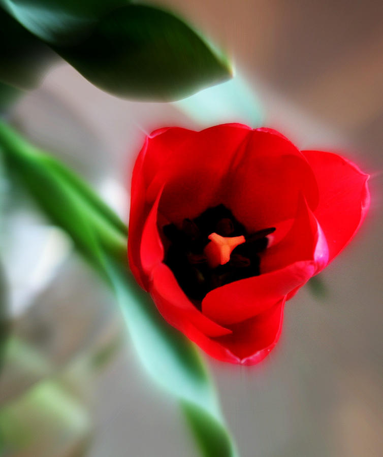 Flowers Photograph - Red Tulip by Cathie Tyler