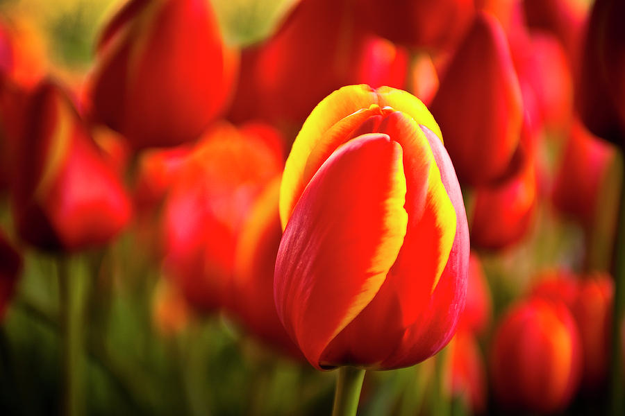 Red Photograph - Red Tulip by Tamyra Ayles