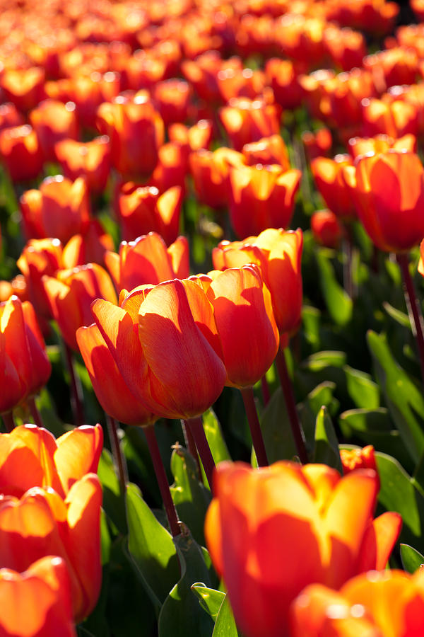 Backlit Photograph - Red Tulips by Francesco Emanuele Carucci