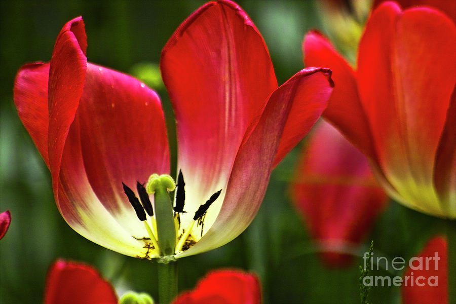 Tulip Photograph - Red Tulips Petals by Heiko Koehrer-Wagner