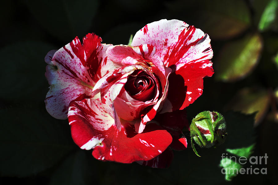 Red Verigated Rose Photograph