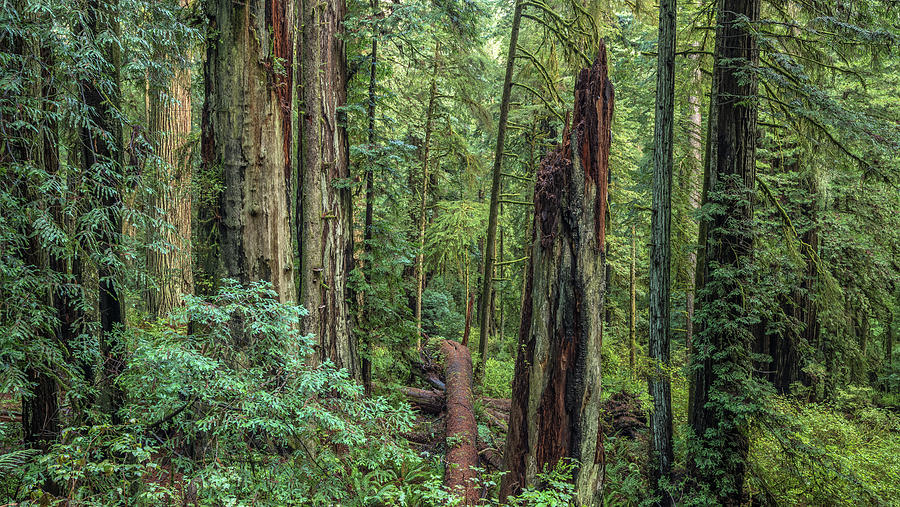 Redwood Forest Photograph