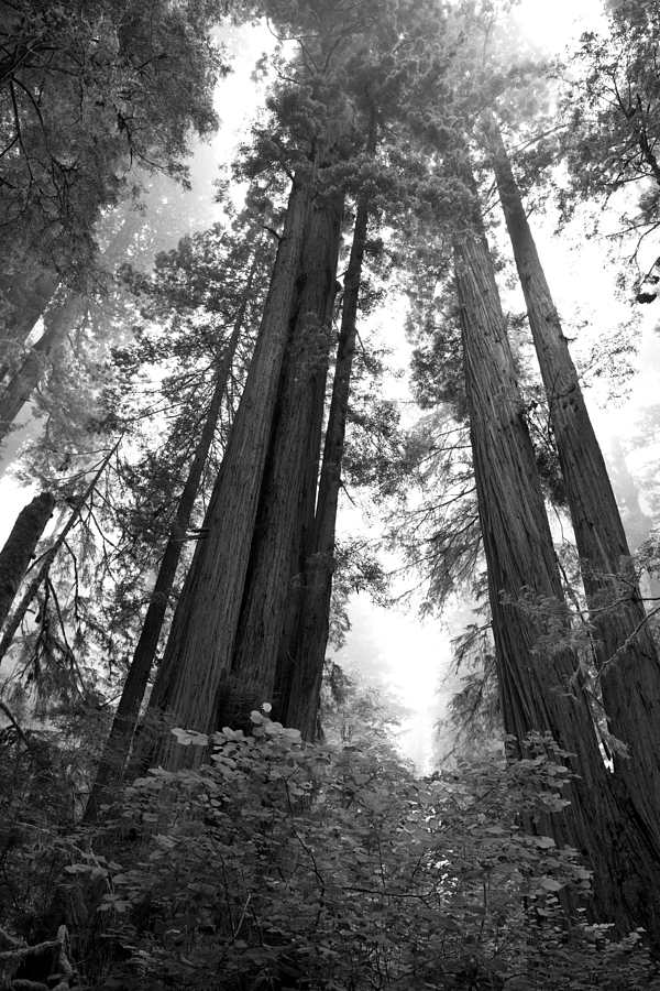 Loree Johnson Photograph - Redwoods In The Fog by Loree Johnson
