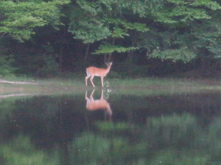 White Tail Deer Photograph - Reflection by Jeffrey Koss