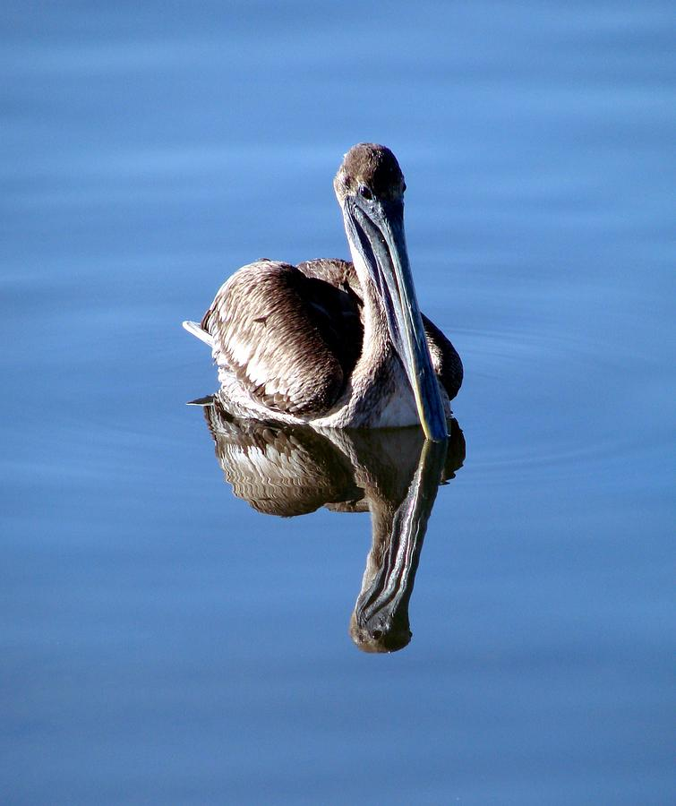 Reflection Of A Pelican Photograph