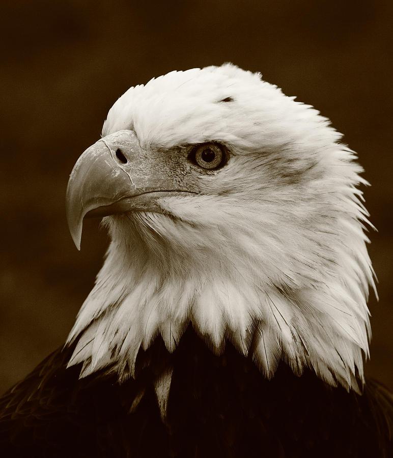 Eagle Photograph - Regal  Eagle by Bruce J Robinson