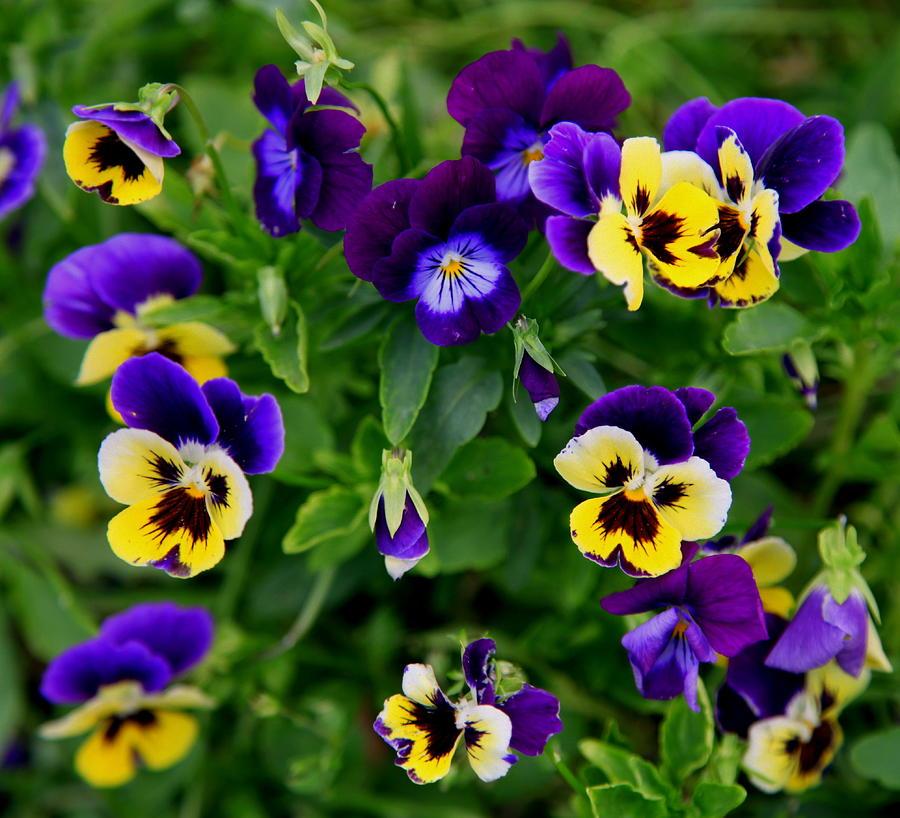 Violets Photograph - Remembering Grandma by Karen Wiles