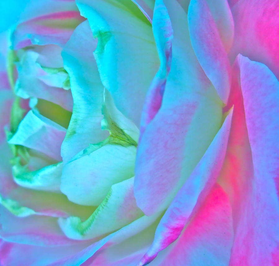 Photograph Of Romantic Rose Photograph - Restless Romantic by Gwyn Newcombe