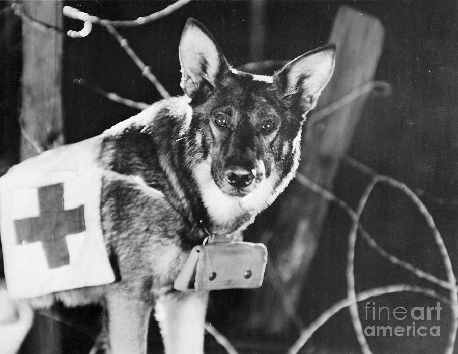 1924 Photograph - Rin-tin-tin (1916-1932) by Granger