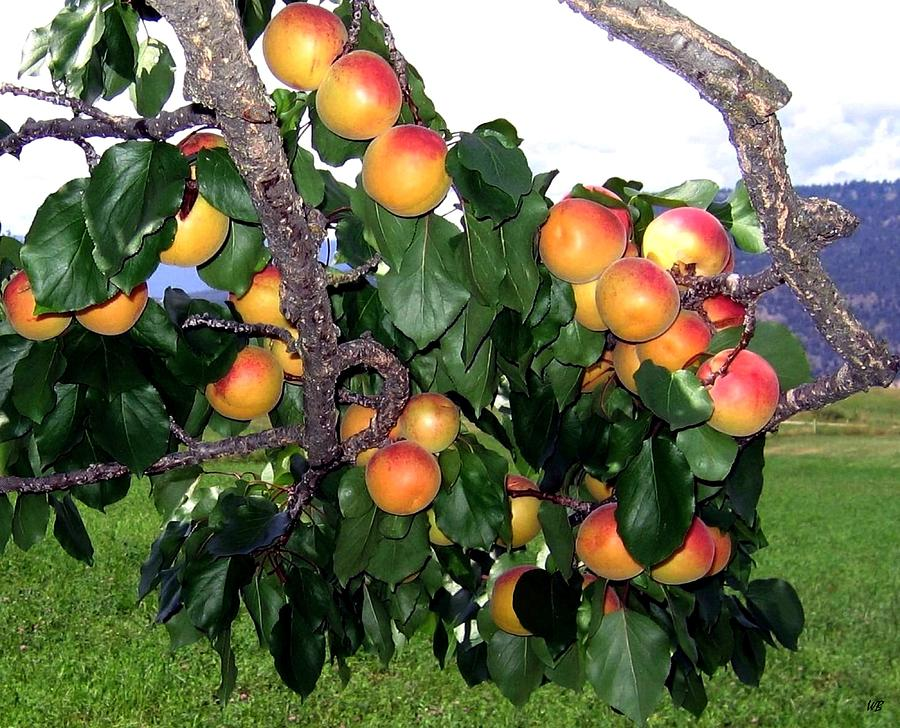 Apricots Photograph - Ripe Apricots by Will Borden