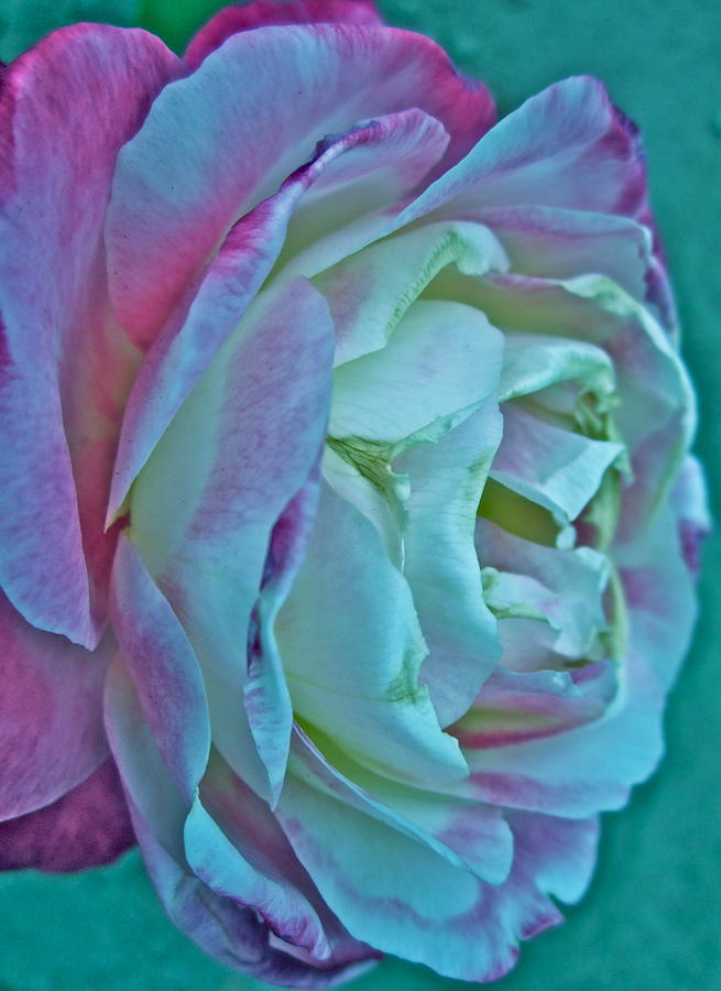 Photograph Of White And Pink Rose Photograph - Romancing The Restless by Gwyn Newcombe