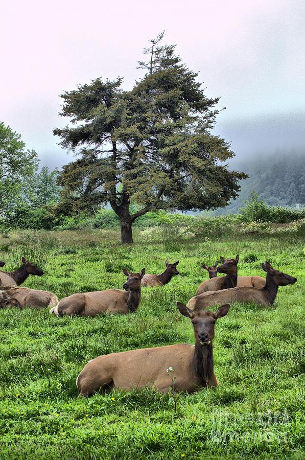 Roosevelt Elk Lounging Photograph
