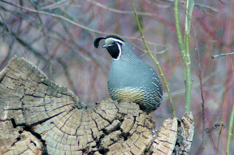 Fowl Photograph - Rooster Quail  by Jeff Swan