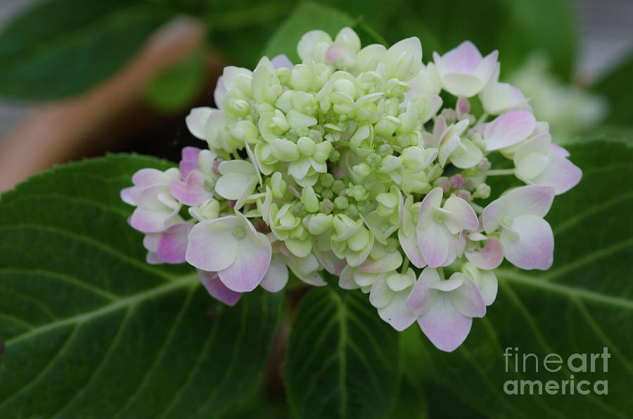 Rooted Hydrangea Photograph