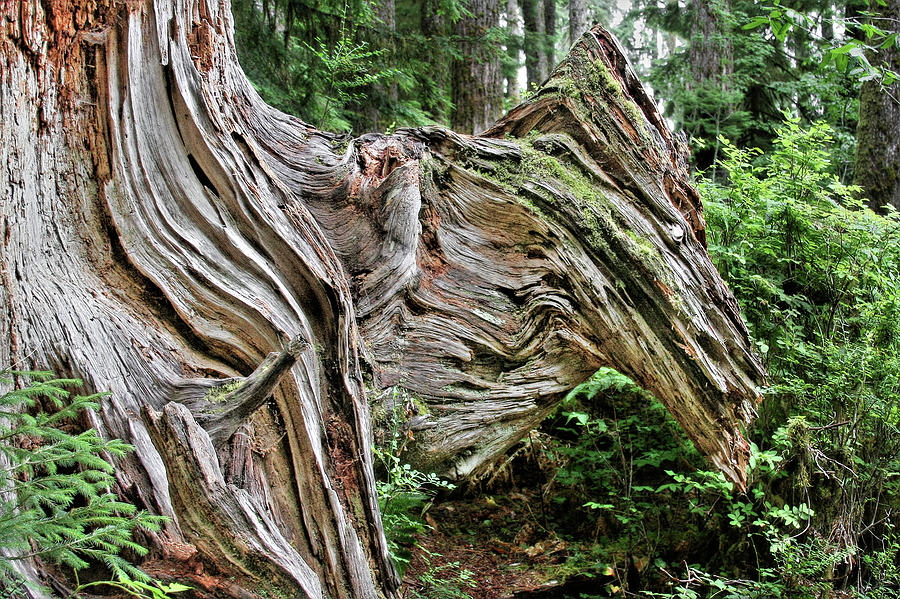 Roots - Welcome To Olympic National Park Wa Usa Photograph