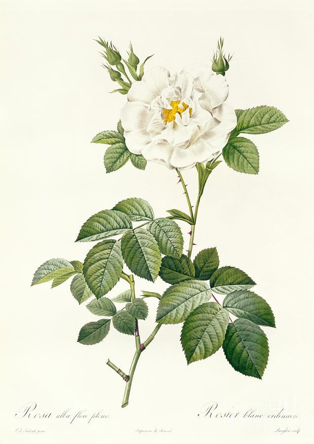 Rosa Drawing - Rosa Alba Flore Pleno by Pierre Joseph Redoute
