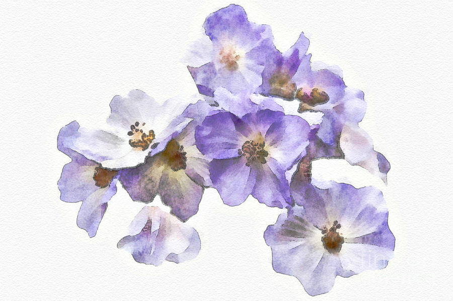 Rosa Canina - Watercolour by Healy