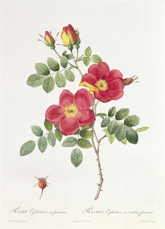 Rosa Drawing - Rosa Eglantera Punicea by Pierre Joseph Redoute