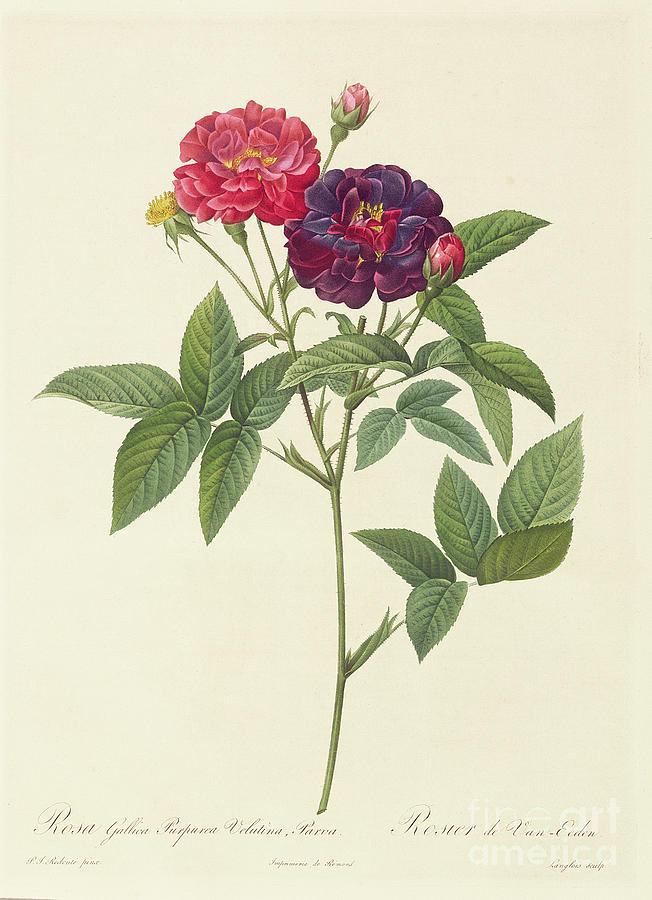 Rosa Drawing - Rosa Gallica Purpurea Velutina by Pierre Joseph Redoute
