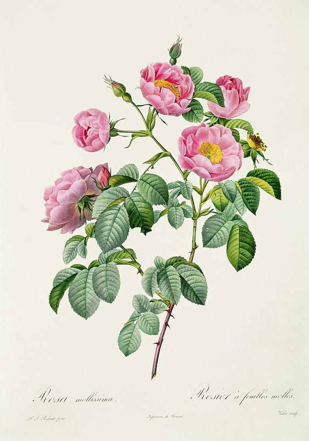 Rosa Drawing - Rosa Mollissima by Claude Antoine Thory