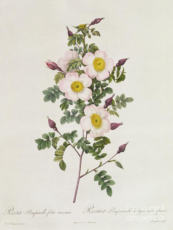 Rosa Drawing - Rosa Pimpinelli Folia Inermis by Pierre Joseph Redoute