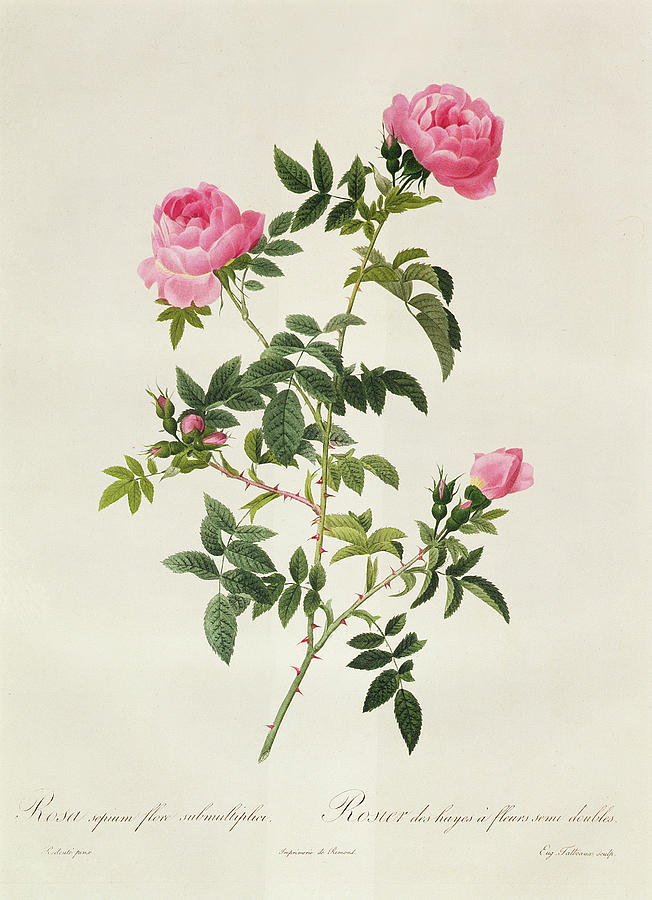 Rosa Drawing - Rosa Sepium Flore Submultiplici by Pierre Joseph Redoute