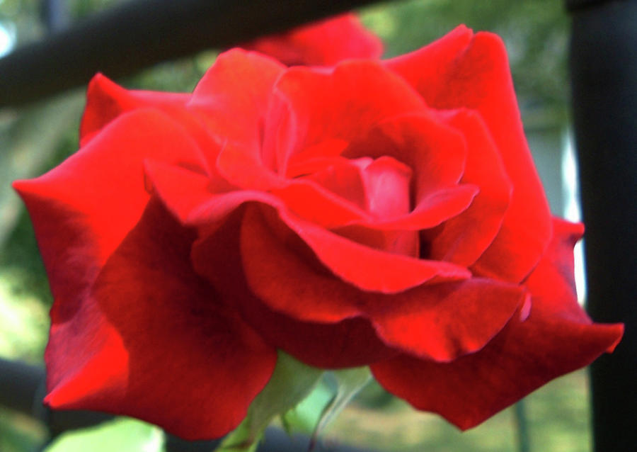 Rose Secrets Photograph