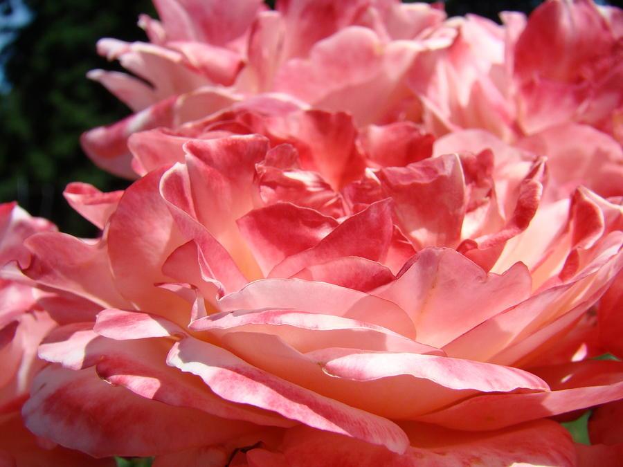 cinnamon flower - photo #27