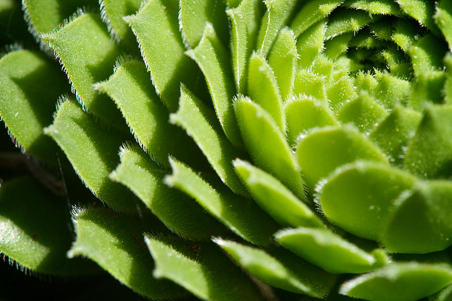Hen And Chicks Photograph - Rosette by Lisa Knechtel