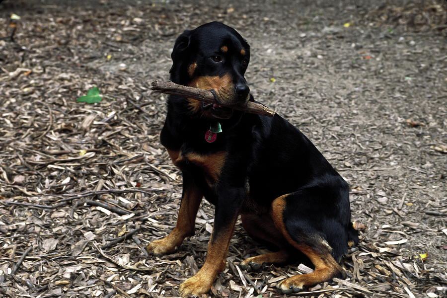 Rottweiler Dog Photograph - Rottweiler Dog Holding Stick In Mouth by Sally Weigand