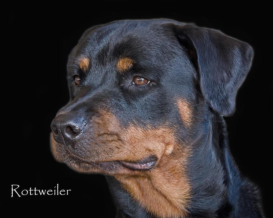 Rottweiler Photograph - Rottweiler by Larry Linton