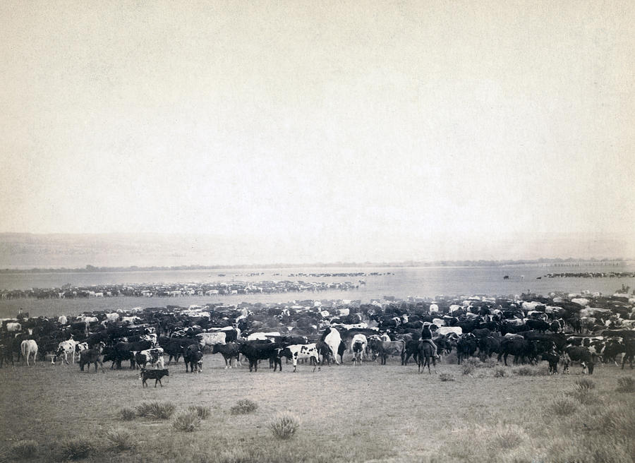 1880s Photograph - Round-up At Moss Agate, Dakota by Everett