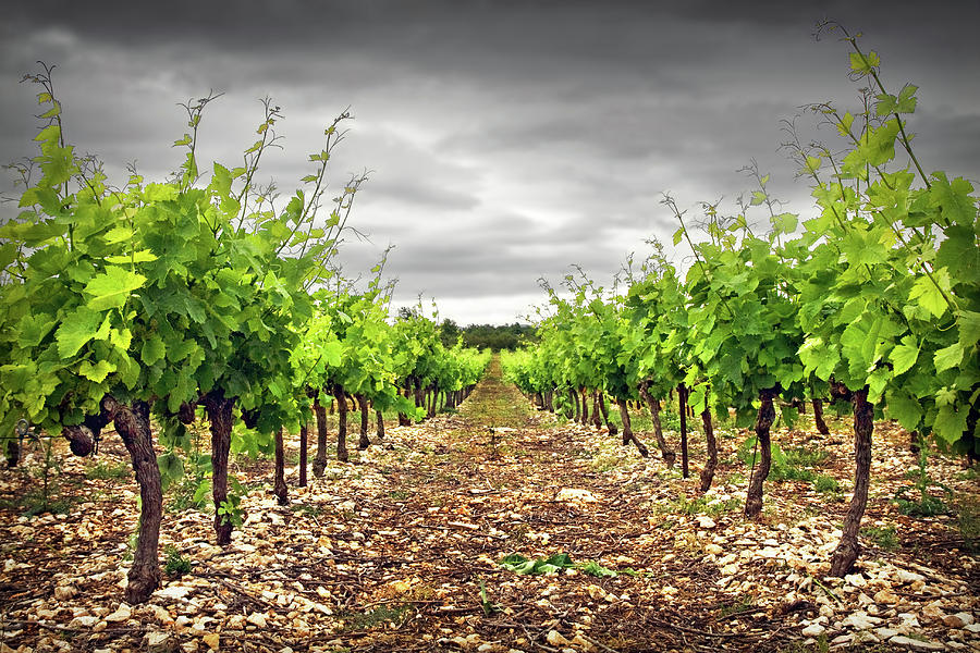 Horizontal Photograph - Row Of Vineyard by Ellen van Bodegom