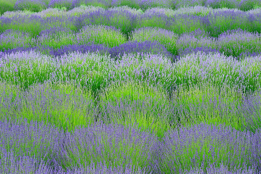 Lavender Rows Photograph - Rows Of Lavender by Hegde Photos