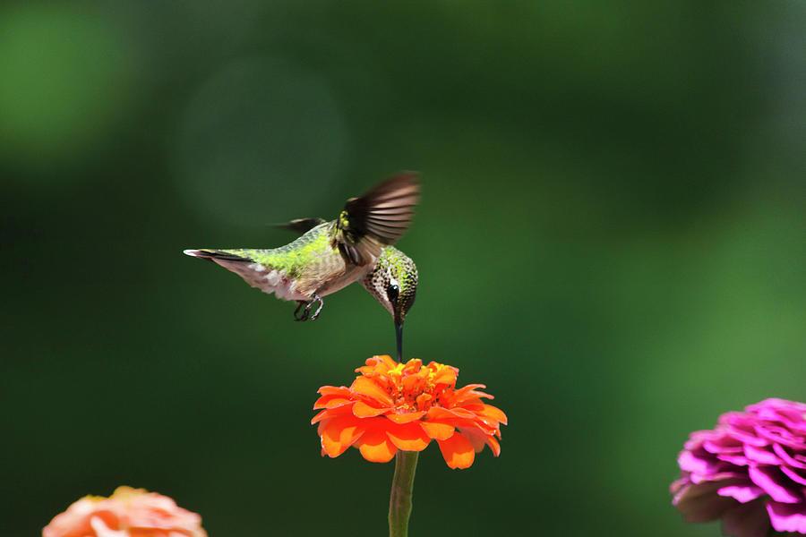 Ruby-throated Hummingbird Feeding On Orange Zinnia Flower Photograph