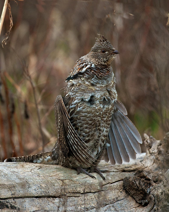 Ruffled Photograph - Ruffled Grouse Drumming by Gary Langley