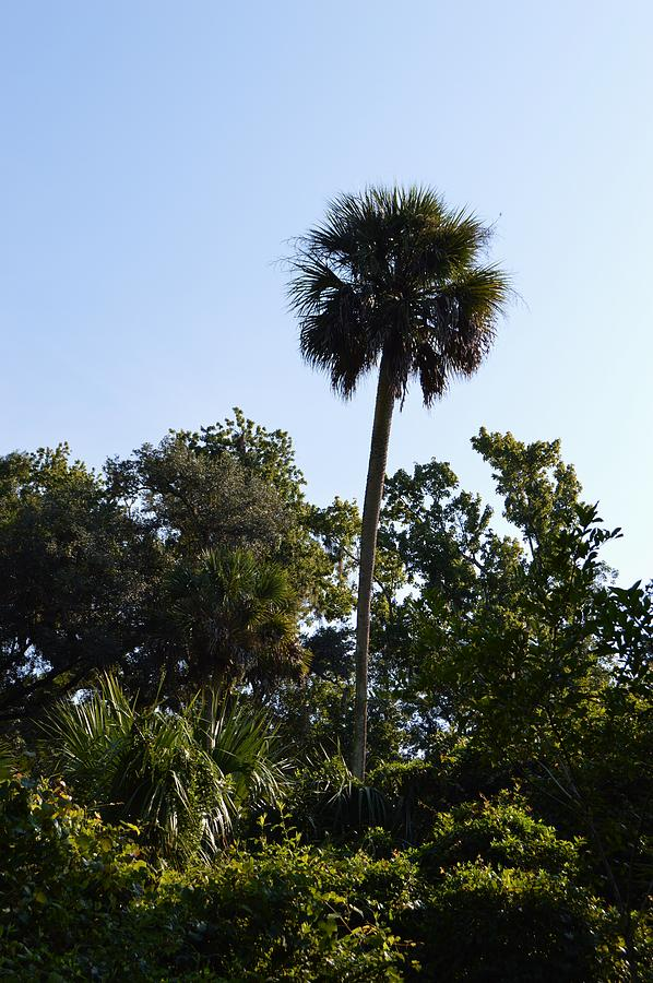 Sabal Palm Fl State Tree Photograph By Warren Thompson