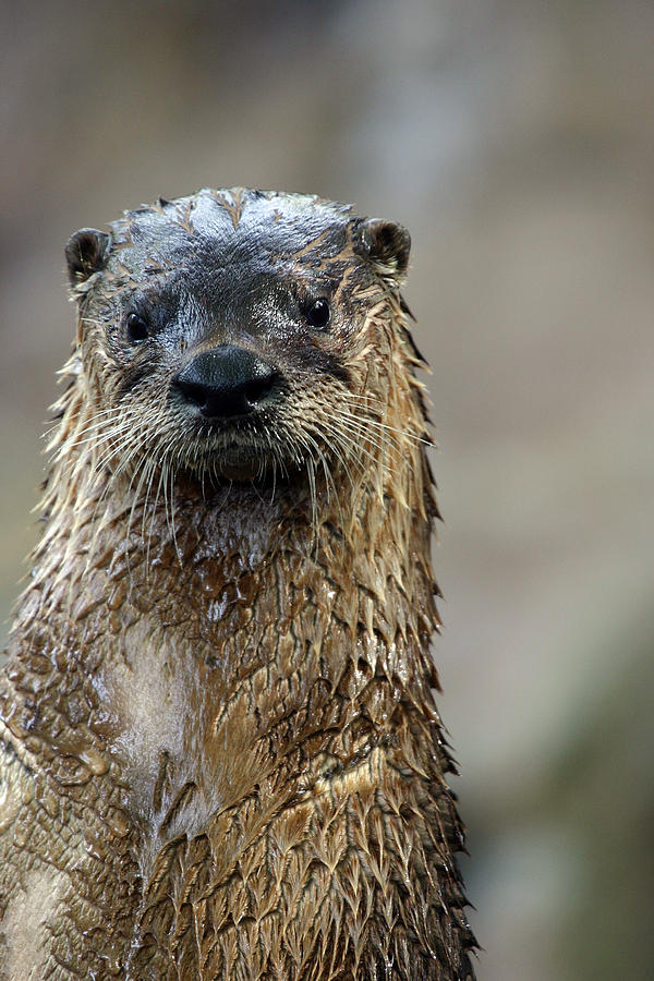 Otter Photograph - Sad Looking  by Karol Livote