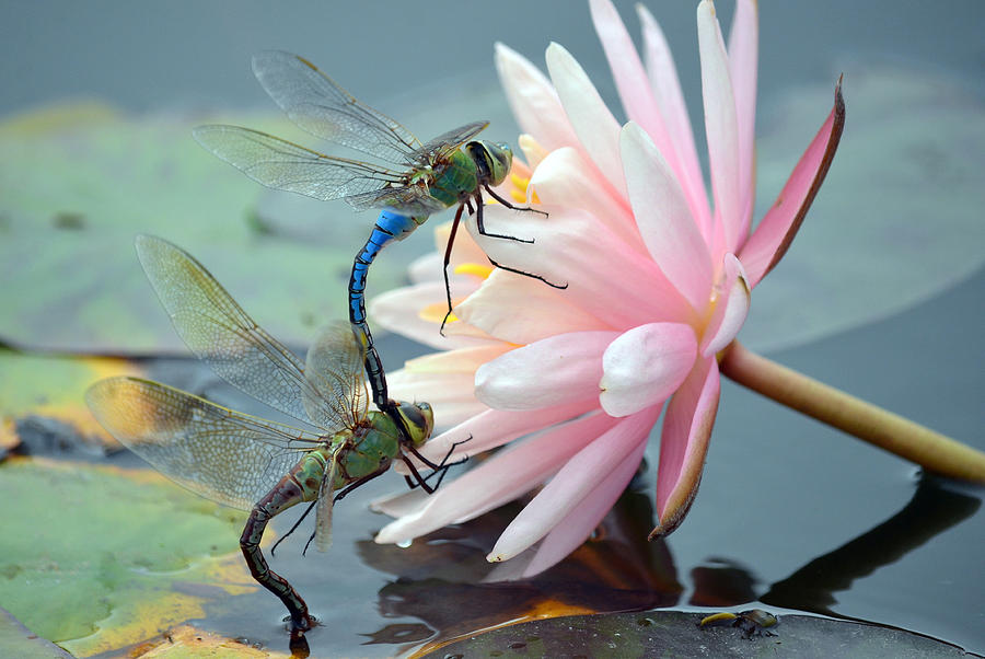 Green Darner Dragonflies Photograph - Safe Place To Land by Fraida Gutovich