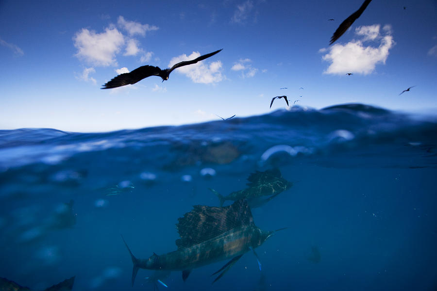 Sailfish And Frigate Birds Hunt Photograph