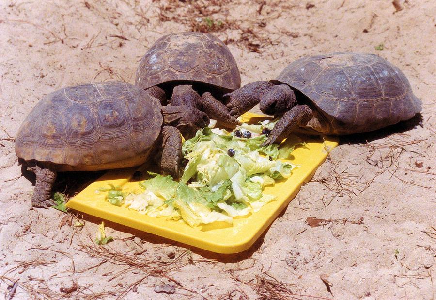 Reptiles Photograph - Salad Bar by Jan Amiss Photography