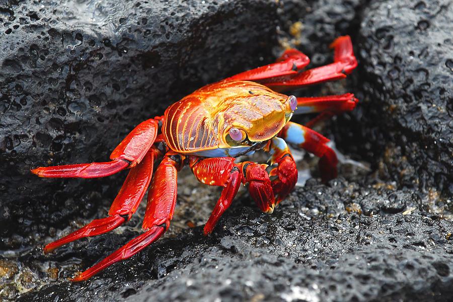 Sally Lightfoot Crab Photograph - Sally Lightfoot Crab by Alan Lenk