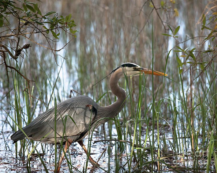 Salt Marsh Blue Heron Photograph