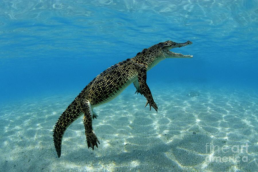 Saltwater Crocodile Photograph By Franco Banfi And Photo
