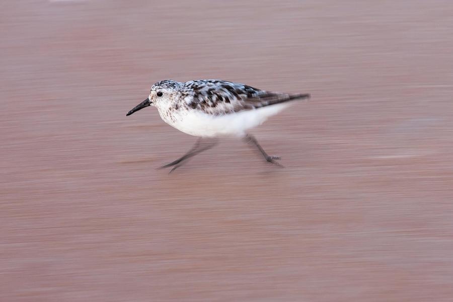 Sanderling On The Run Photograph